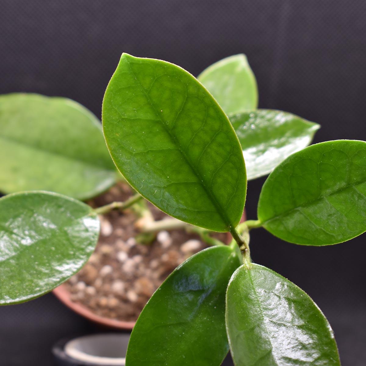 eden plantae hoya hoya australis 2