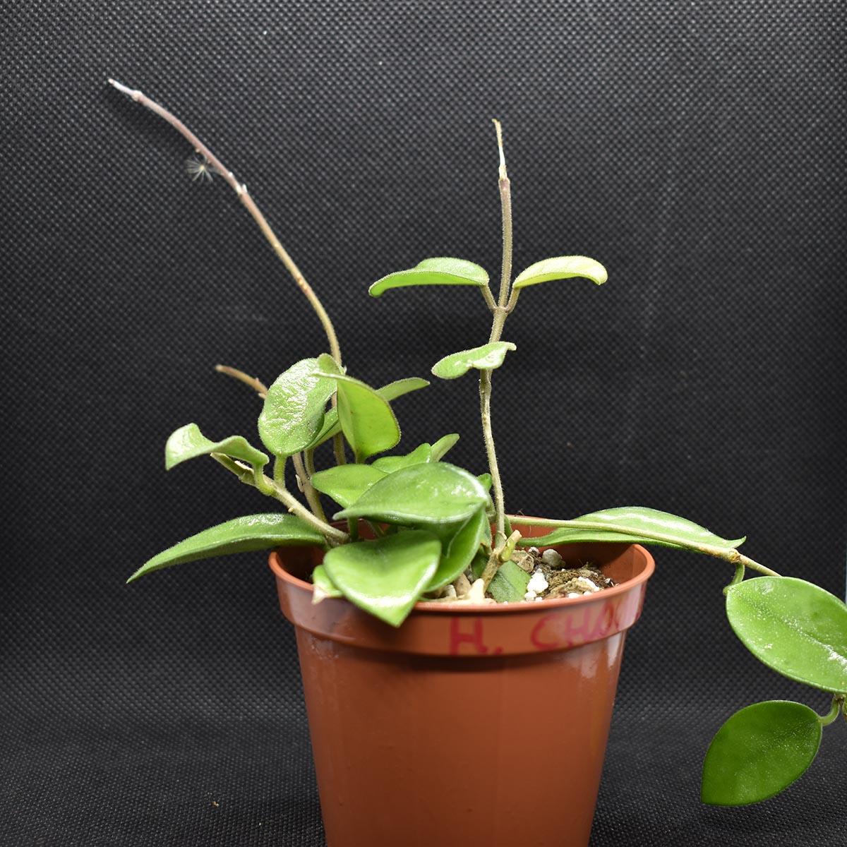 eden plantae hoya hoya chouke 1