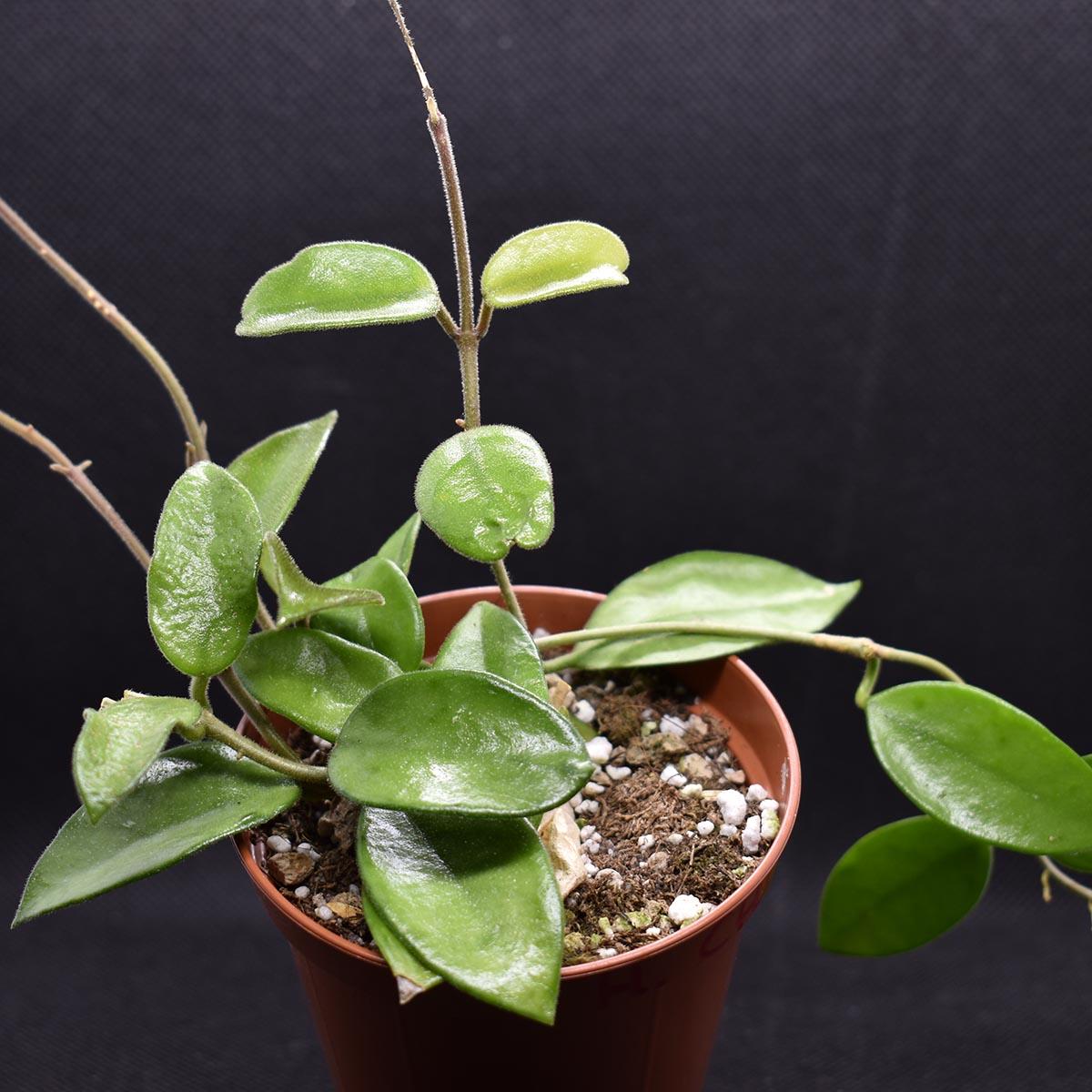 eden plantae hoya hoya chouke 2