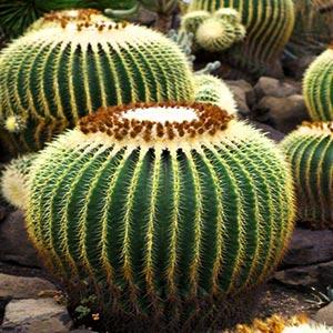 Cactaceae (A - I)