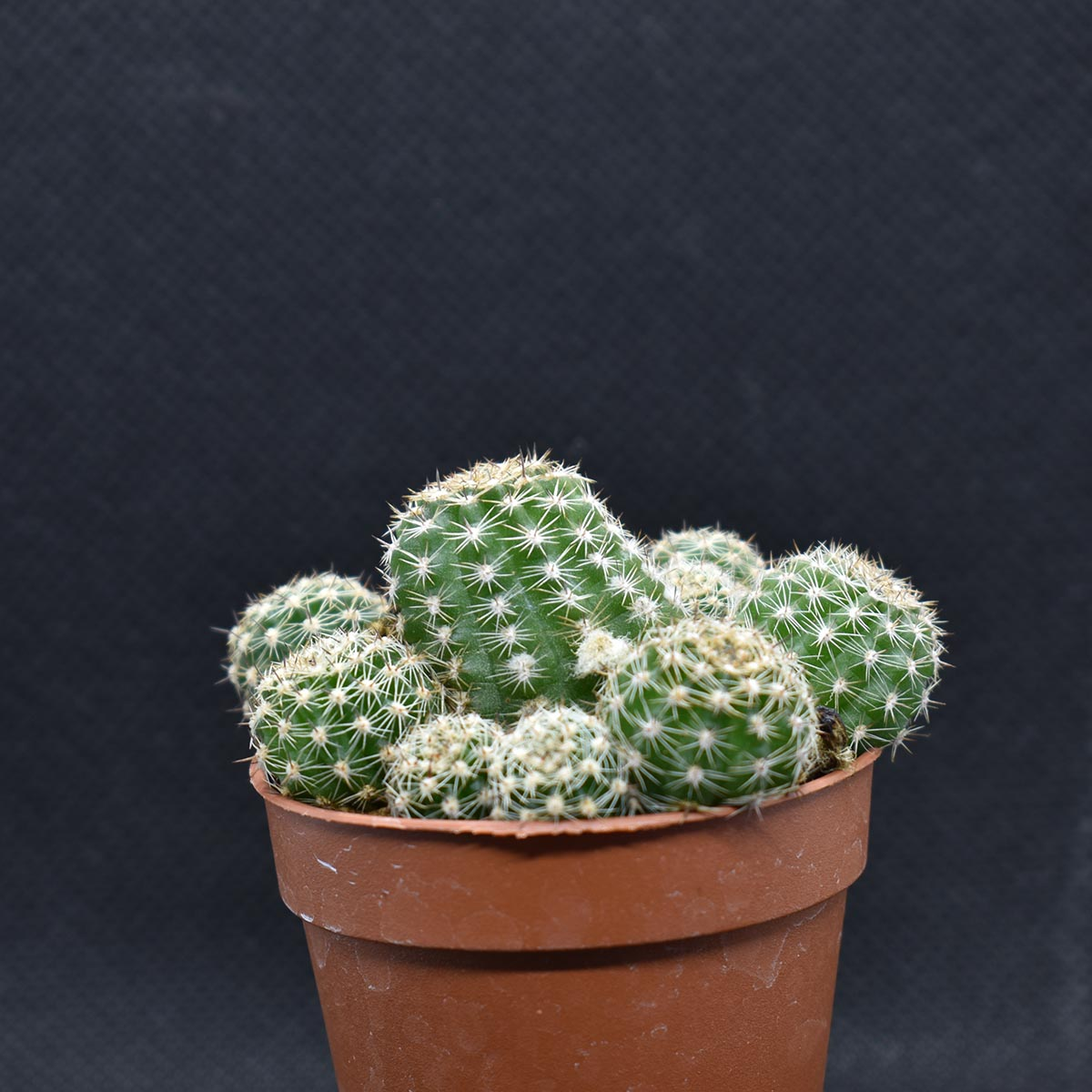 eden plantae cactaceae chamaecereus d 1