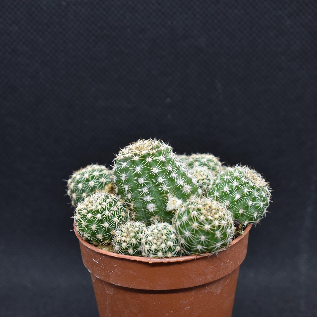 eden plantae cactaceae chamaecereus d 2