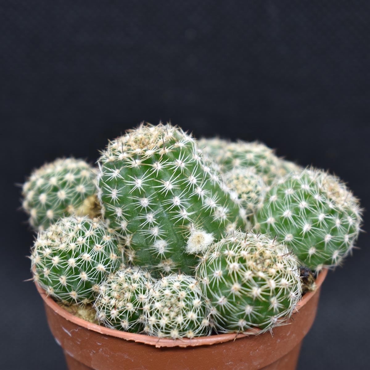 eden plantae cactaceae chamaecereus d 3