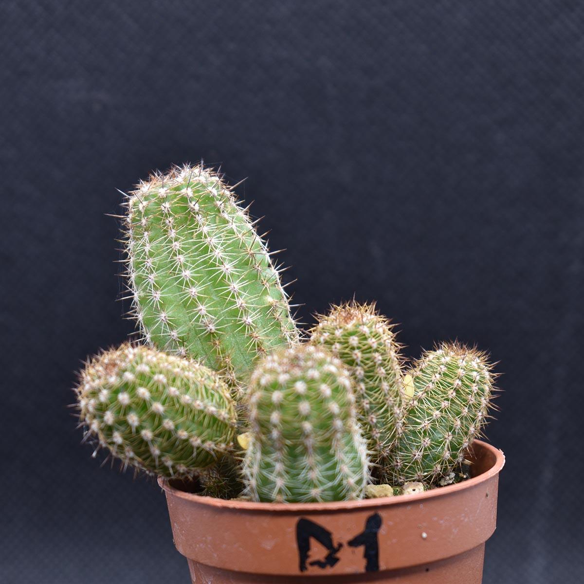 eden plantae cactaceae chamaecereus d1 1