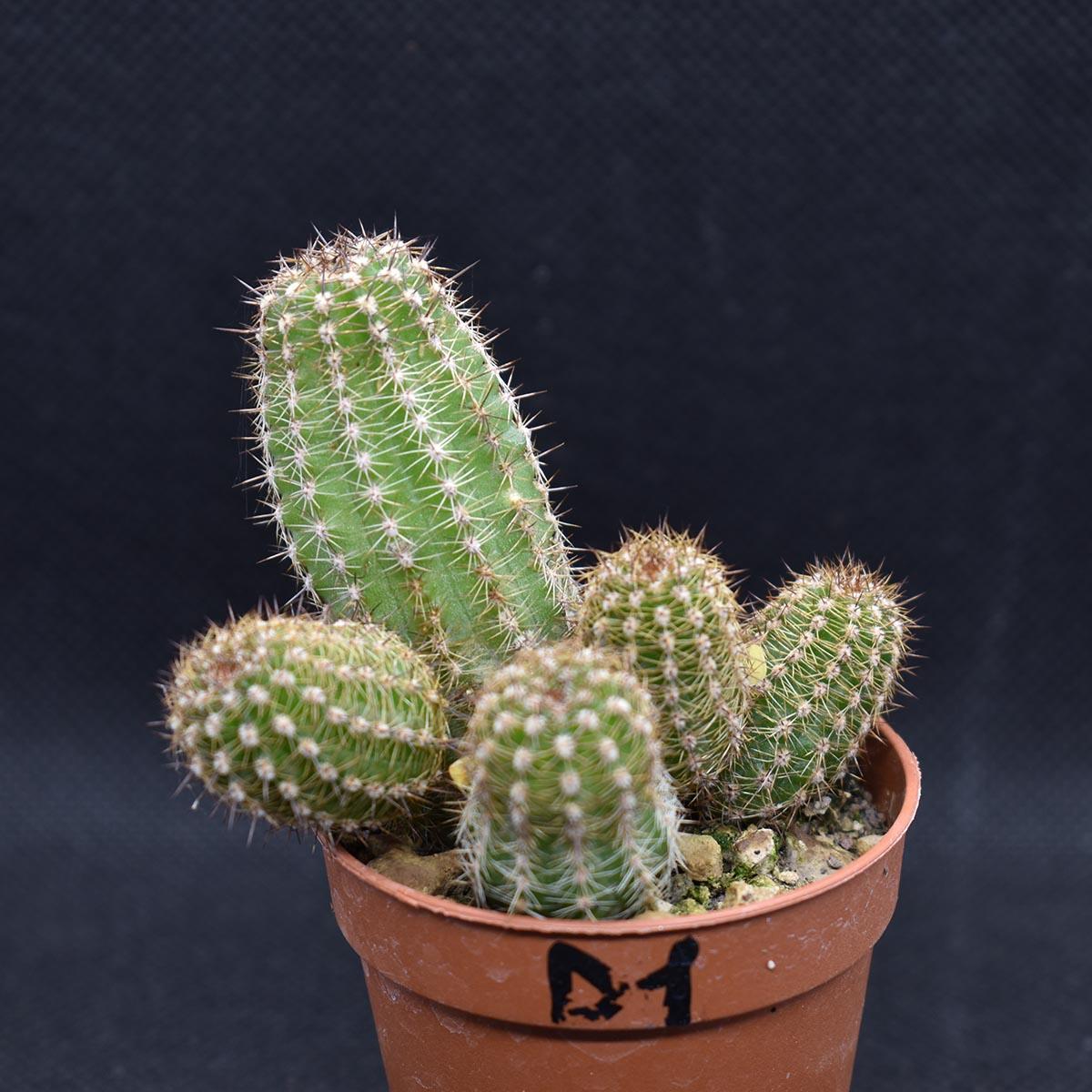 eden plantae cactaceae chamaecereus d1 2