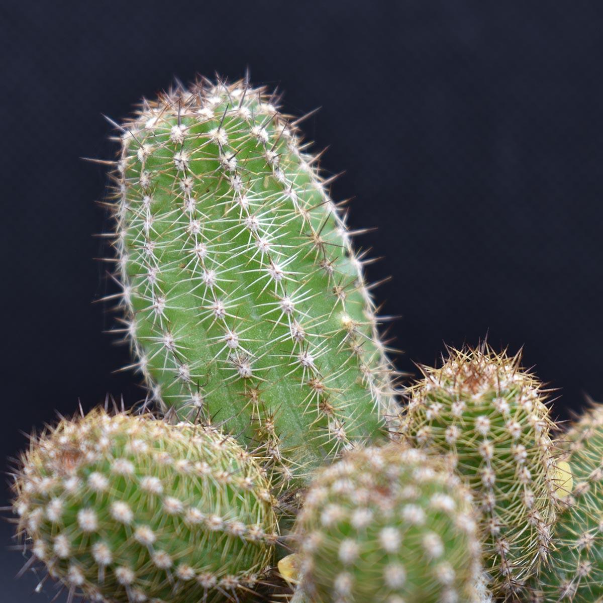 eden plantae cactaceae chamaecereus d1 3