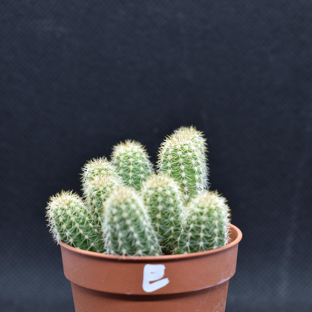 eden plantae cactaceae chamaecereus e 1