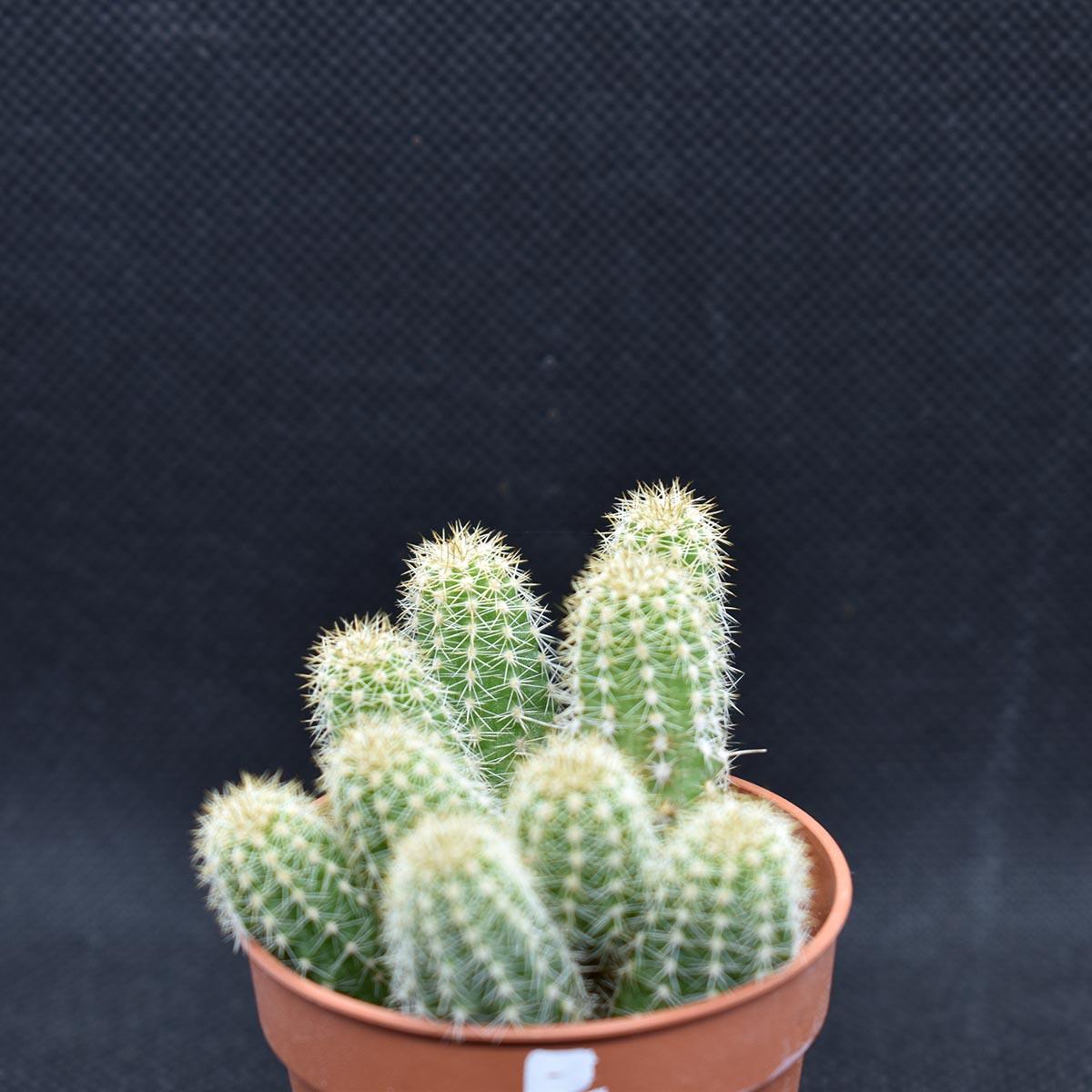 eden plantae cactaceae chamaecereus e 2