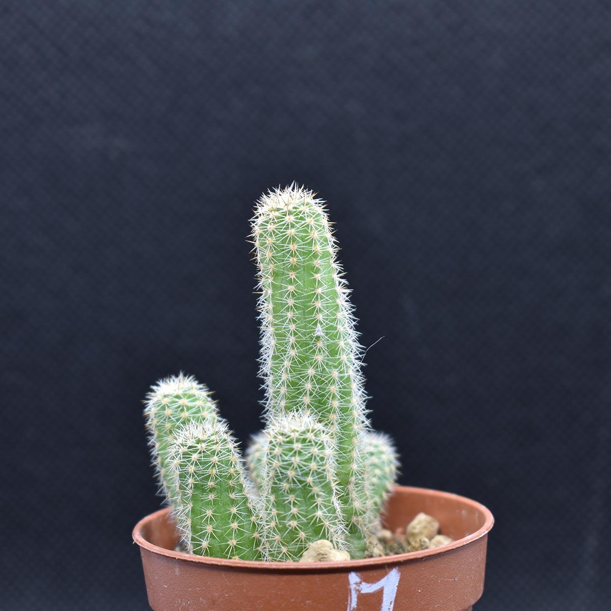 eden plantae cactaceae chamaecereus m 1