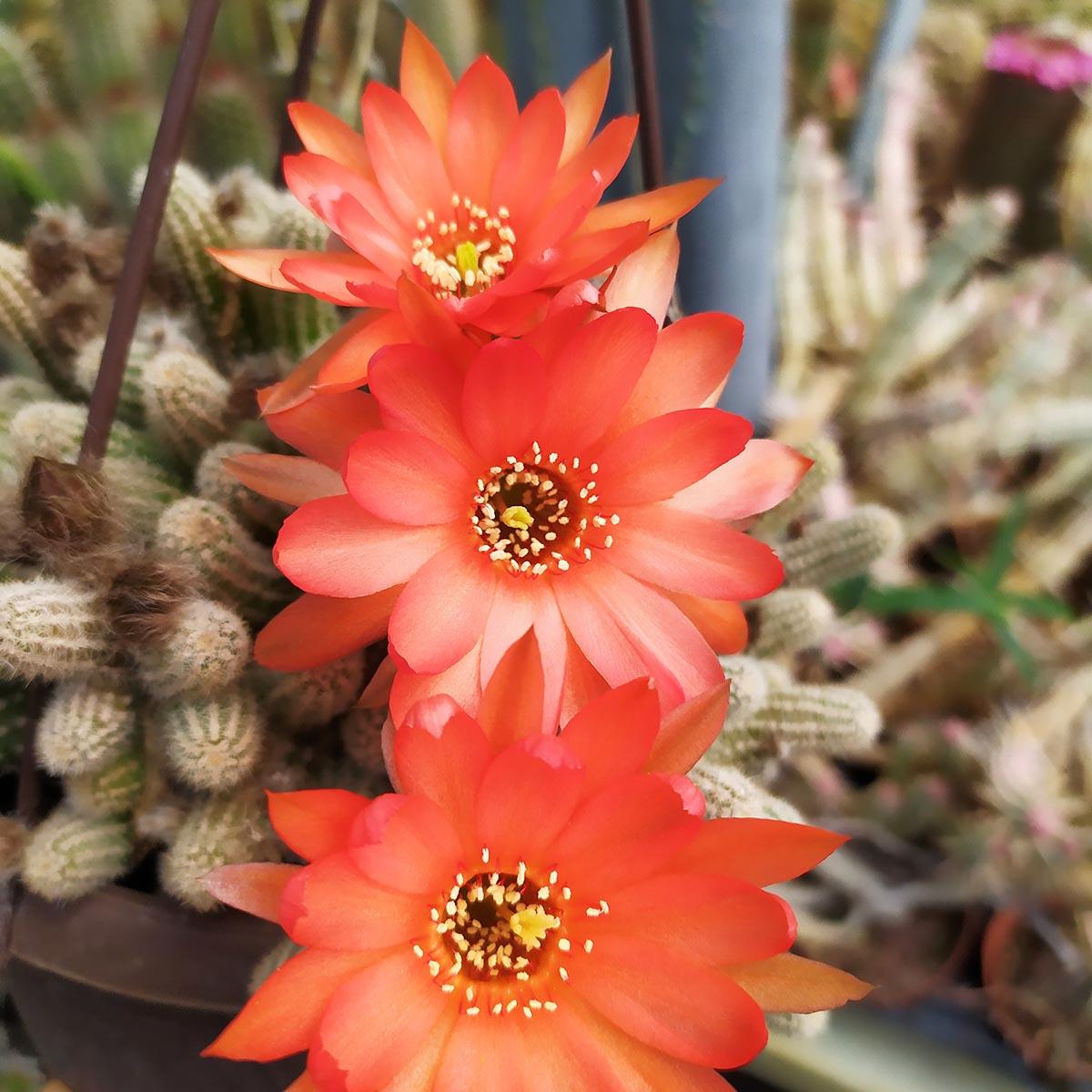 eden plantae cactaceae chamaecereus m 4