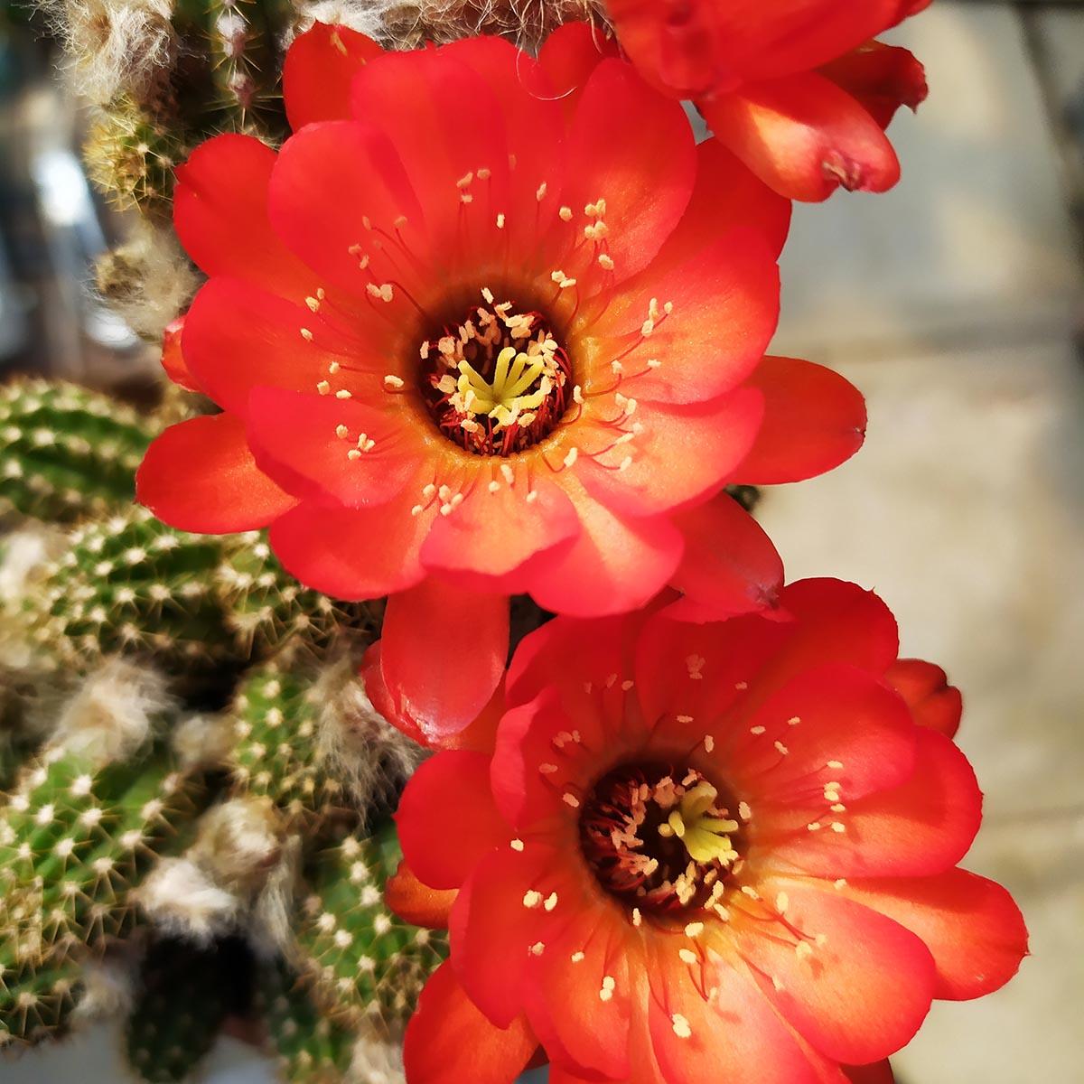 eden plantae cactaceae chamaecereus t 4