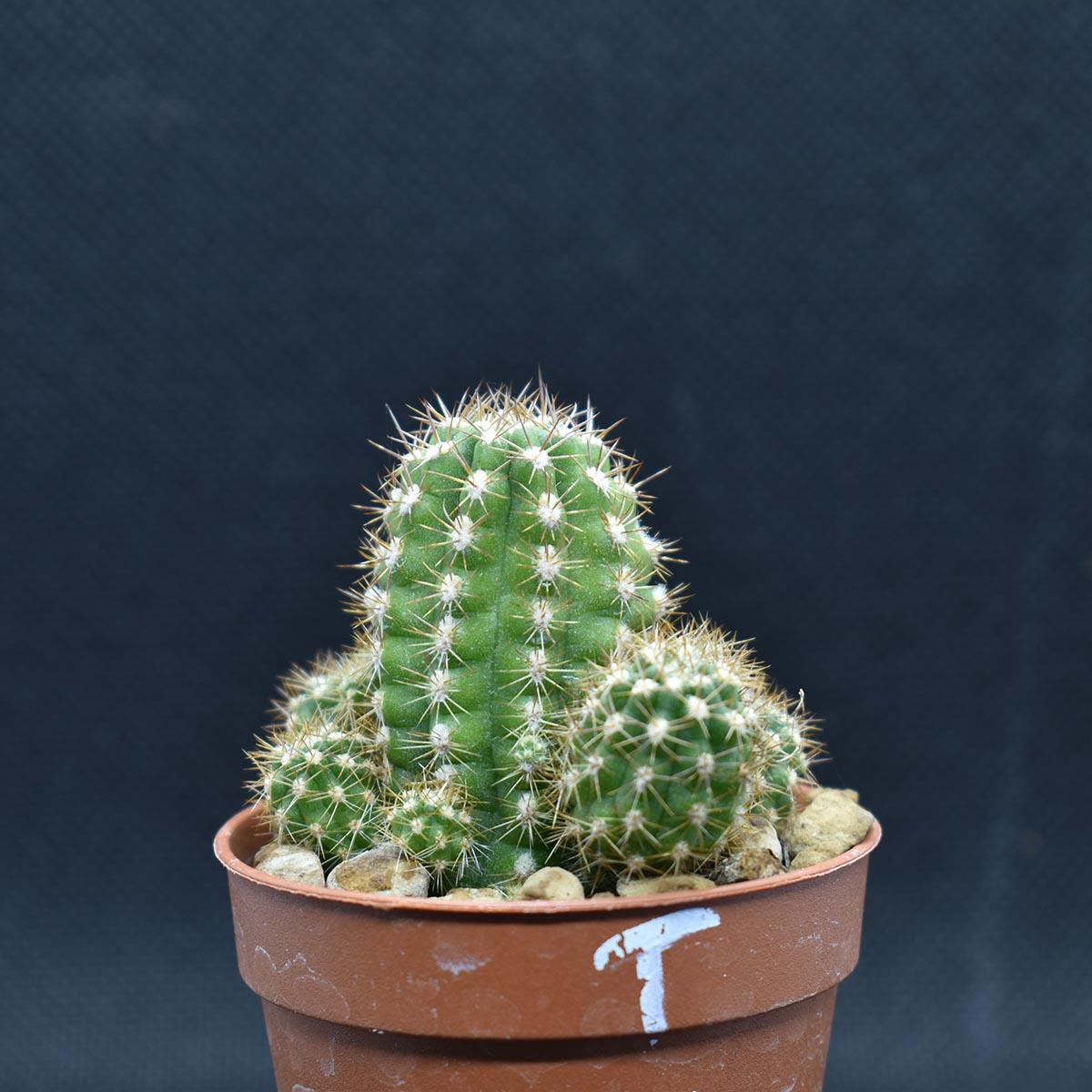 eden plantae cacteceae chamaecereus t 1