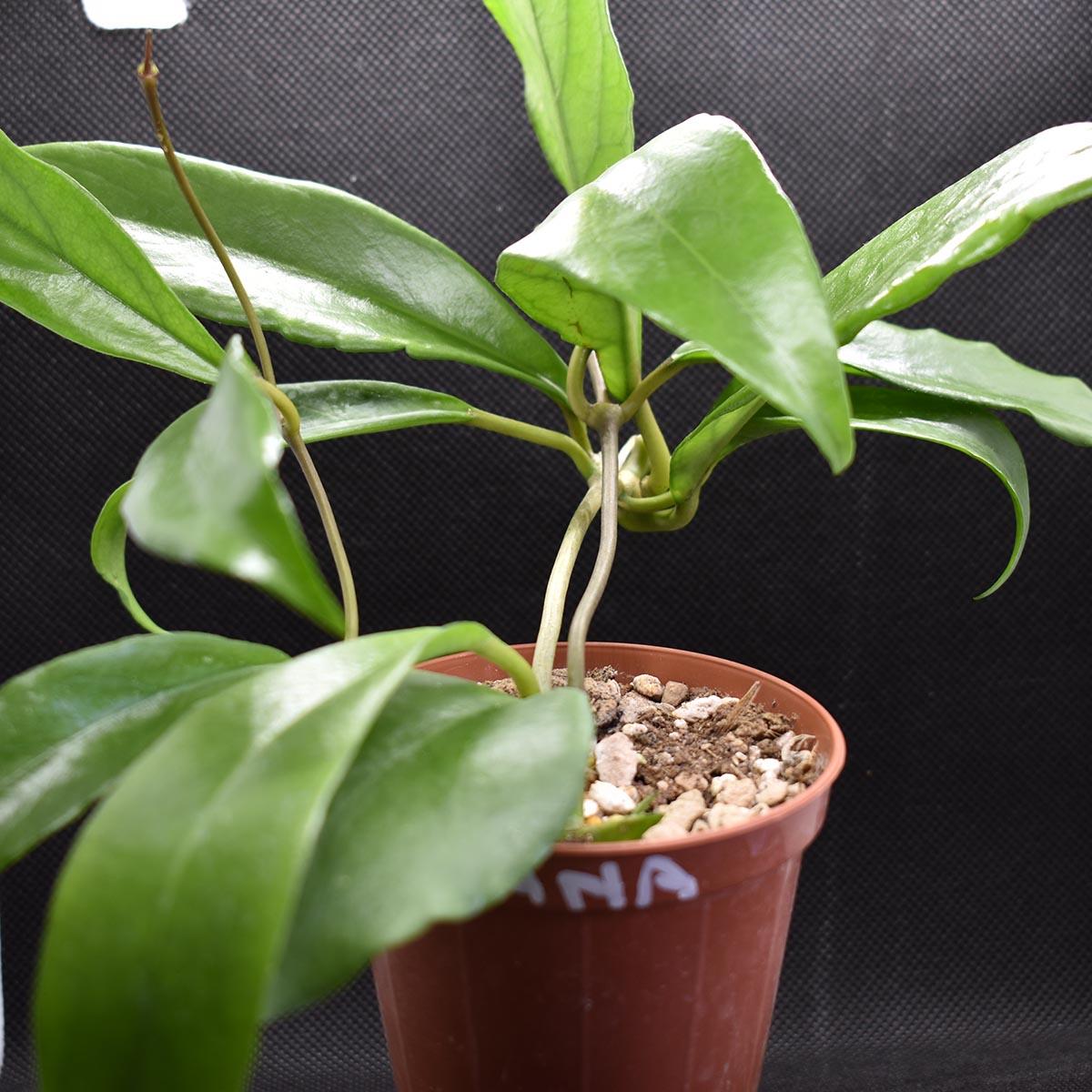 eden plantae hoya hoya arnottiana 1