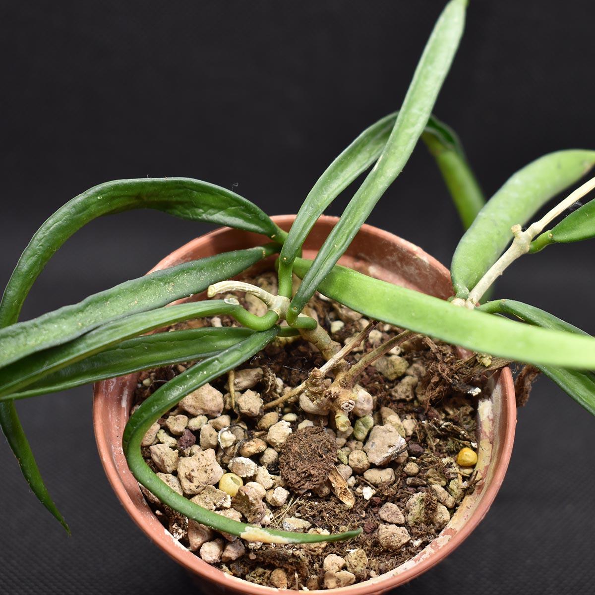eden plantae hoya hoya shepherdii 2