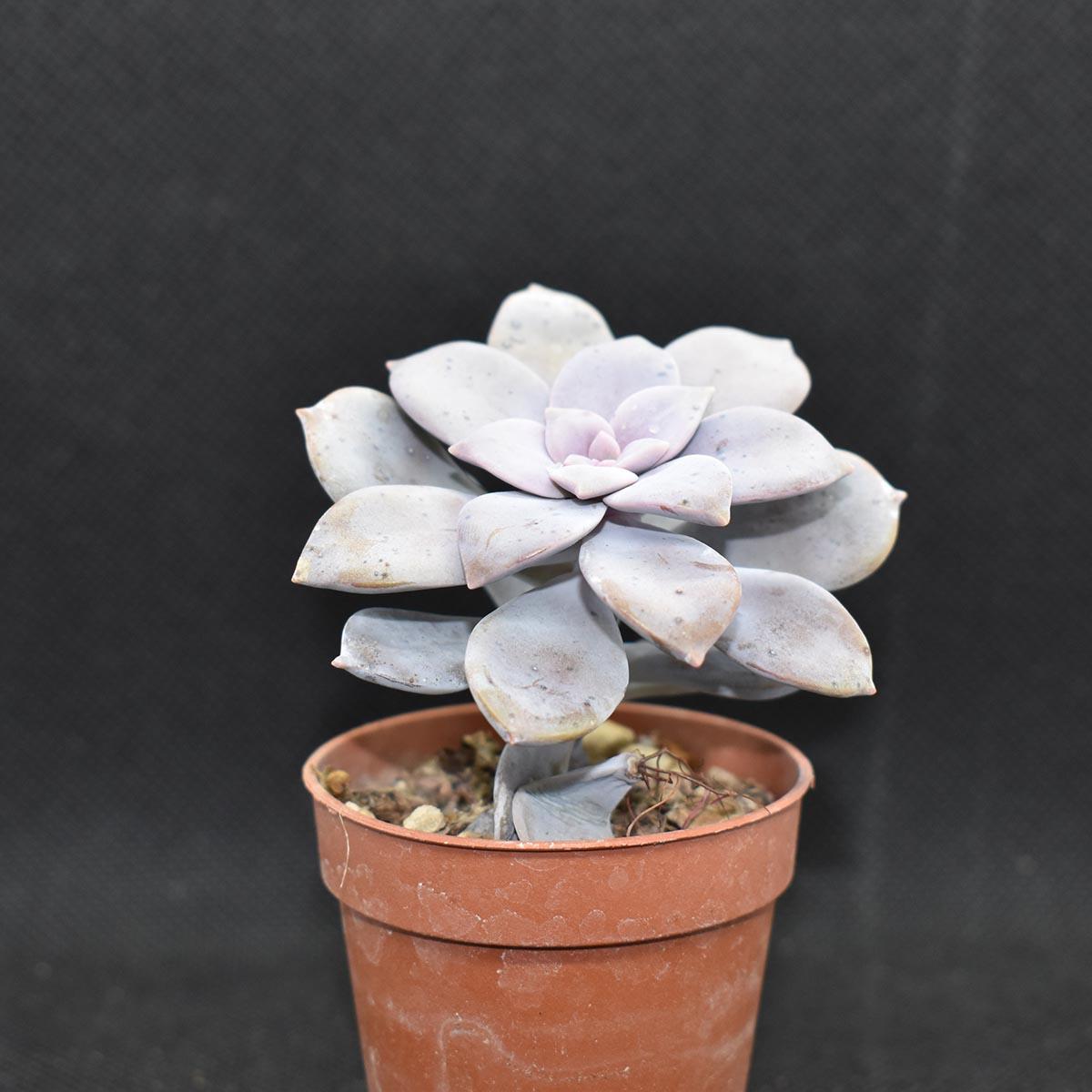 eden plantae succulente graptopetalum pentandrum 1