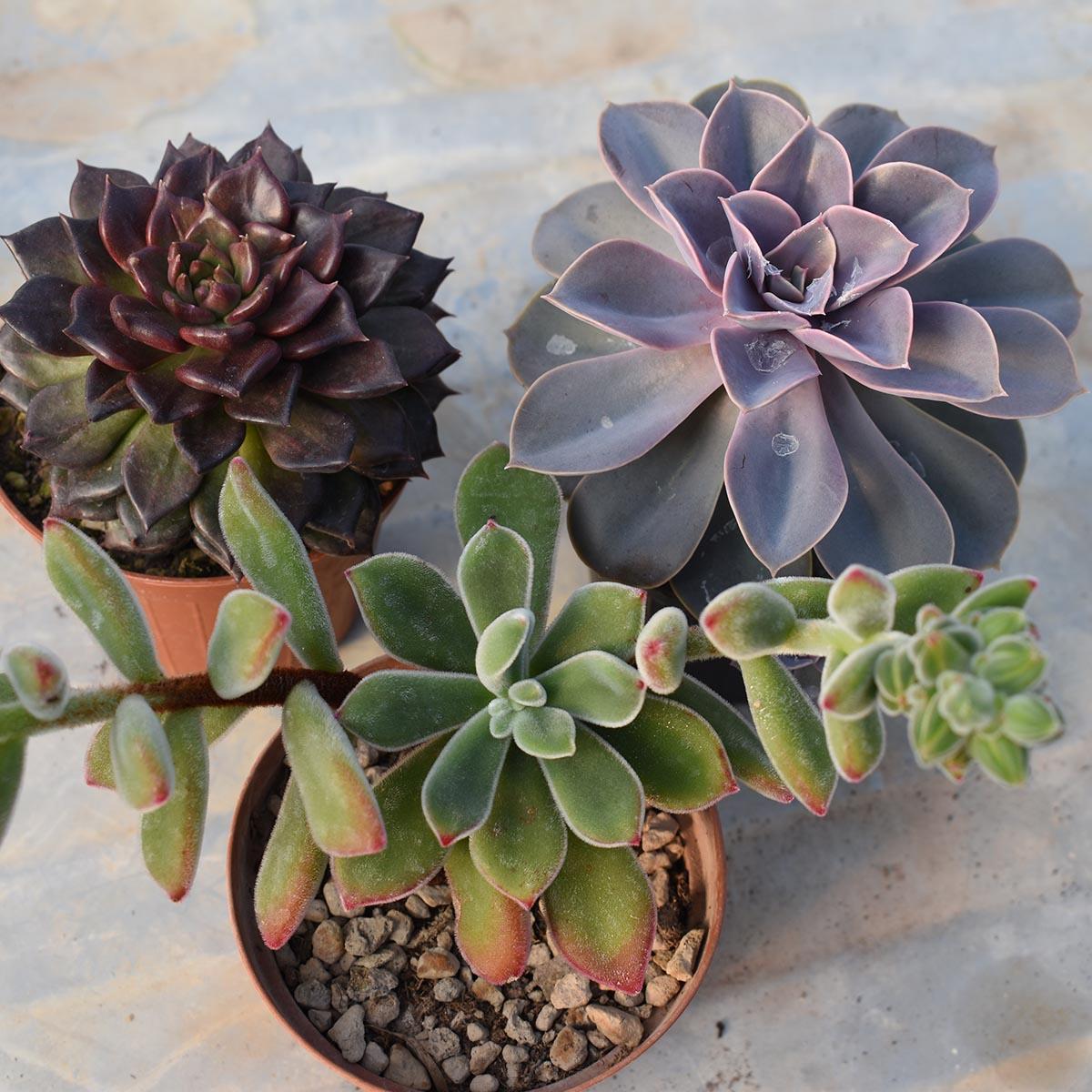 eden plantae succulente mix2 1