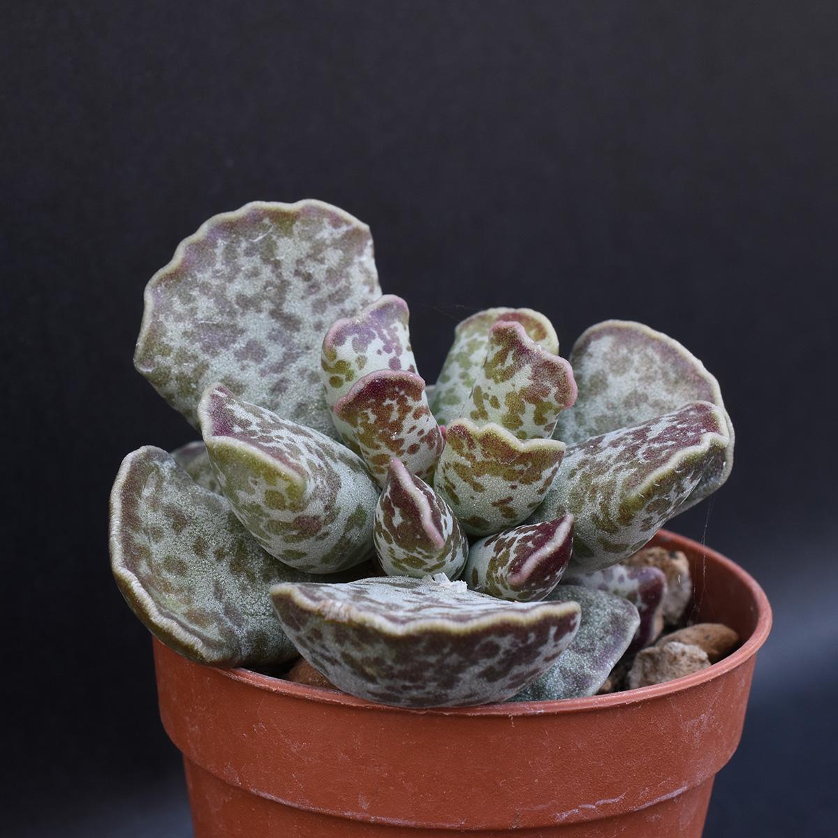 eden plantae succulente adromischus cooperi 2