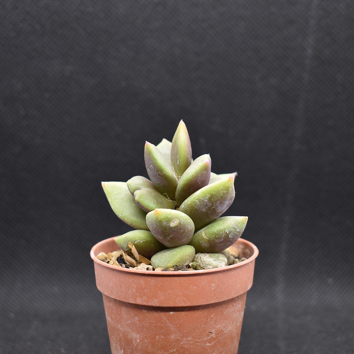 eden plantae succulente anacampseros rufescens 1