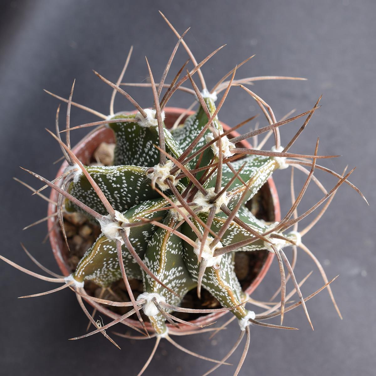 eden plantae cactus astrophytum ornatum 1