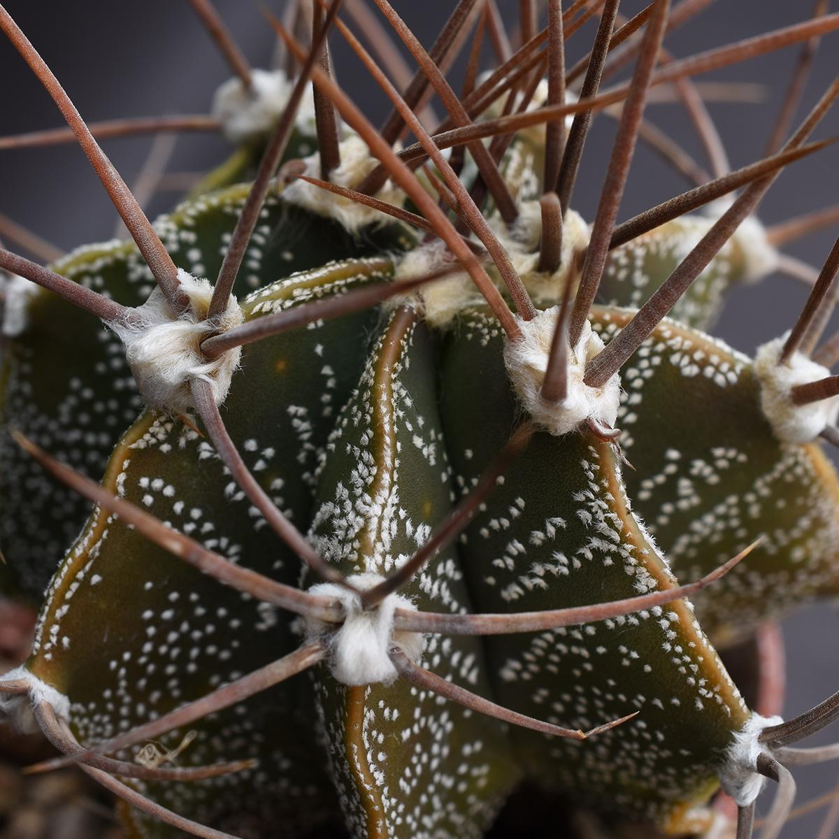 eden plantae cactus astrophytum ornatum 2