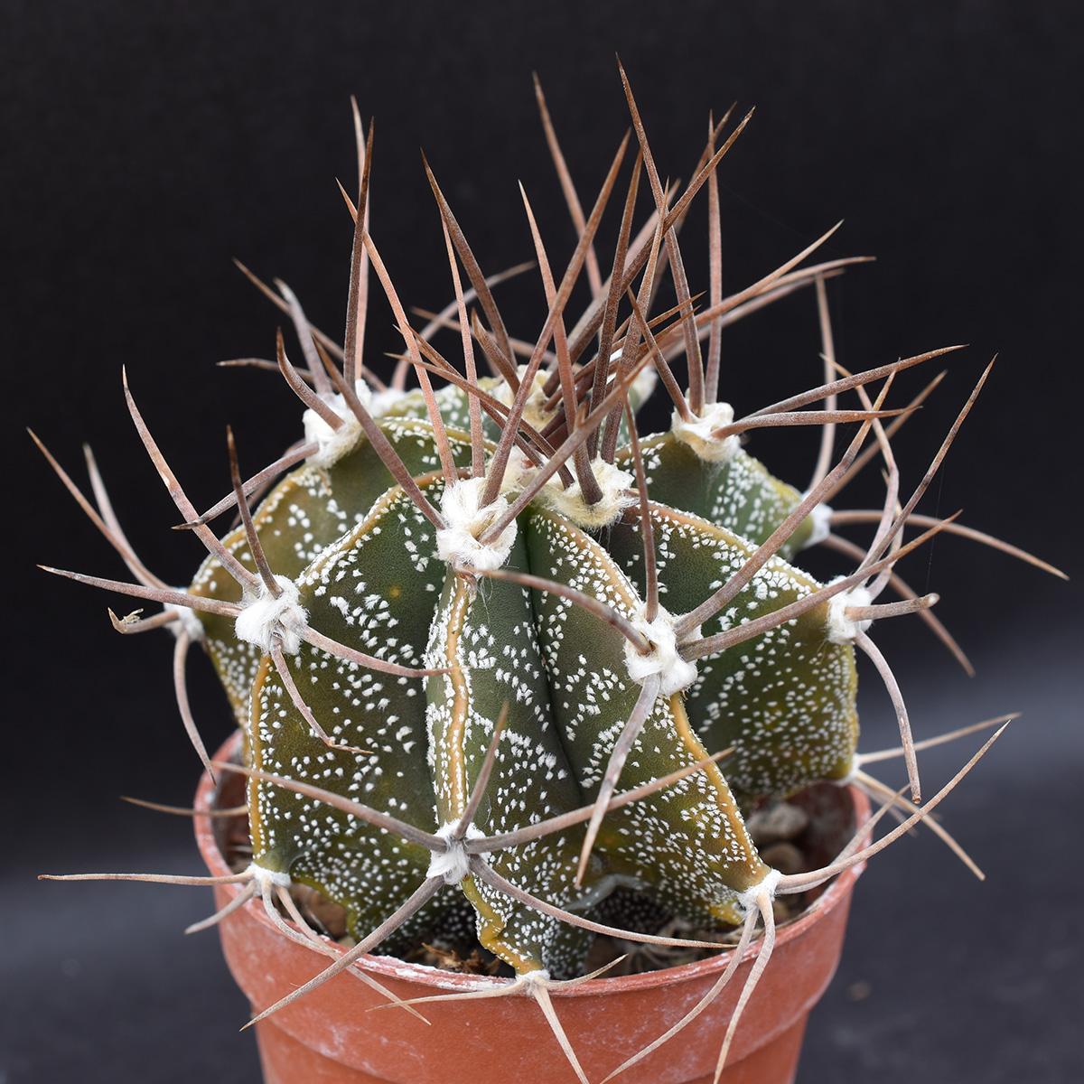 eden plantae cactus astrophytum ornatum 3