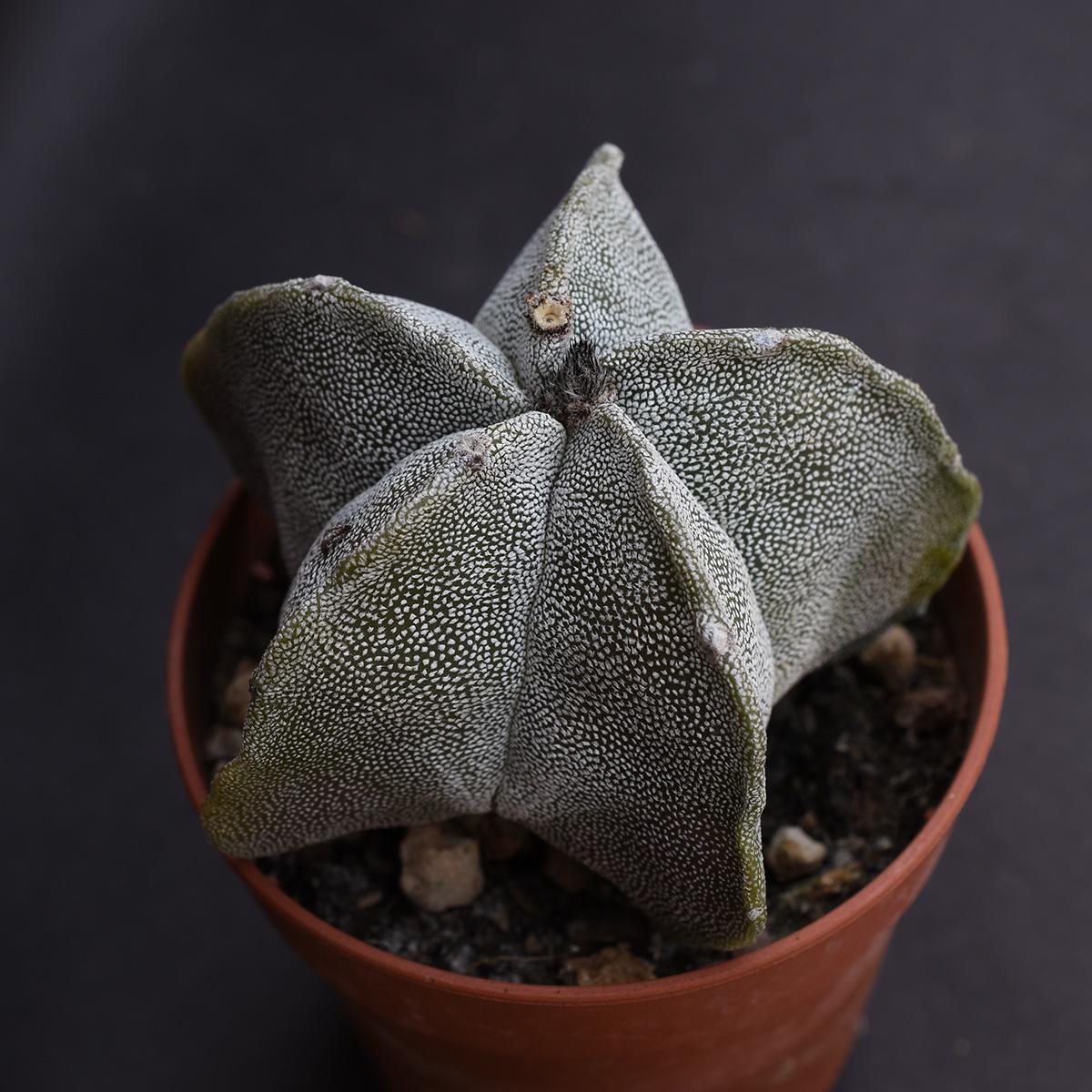 eden plantae succulente astrophytum myriostigma 2