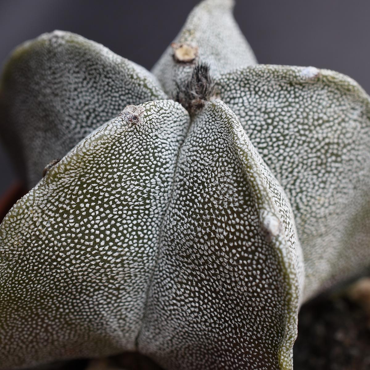 eden plantae succulente astrophytum myriostigma 3