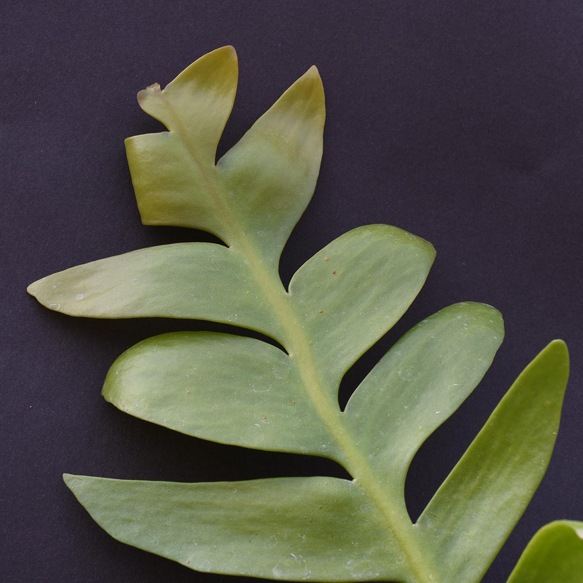 eden plantae succulente epiphyllum chrysocardium 3