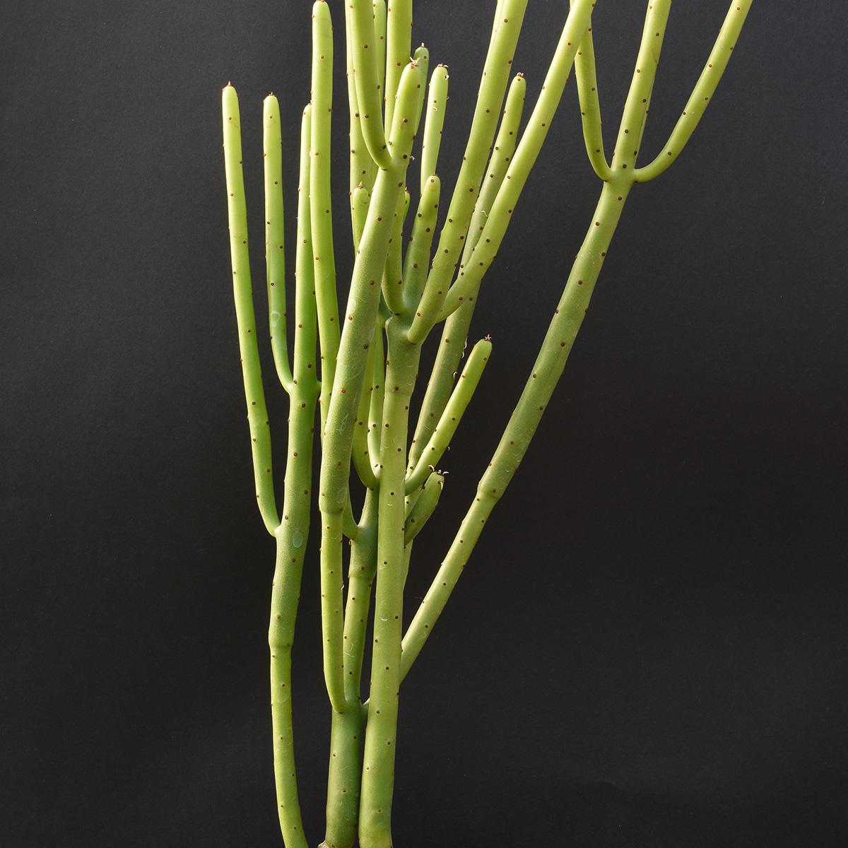 eden plantae succulente euphorbia leucodendron 2