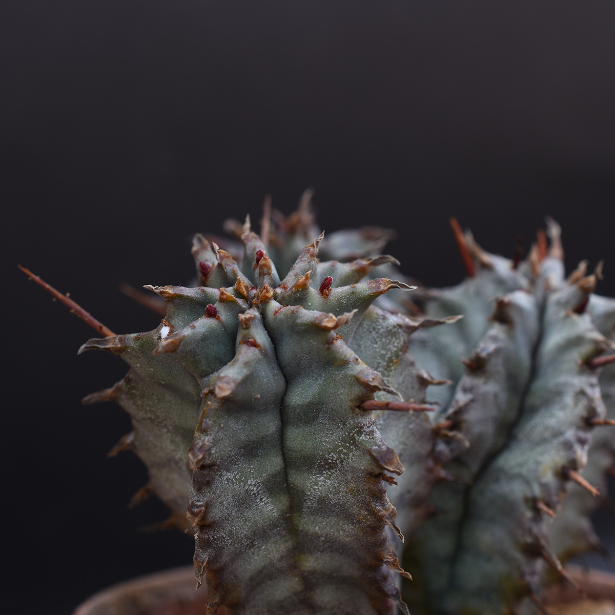 eden plantae succulente euphorbia horrida 2