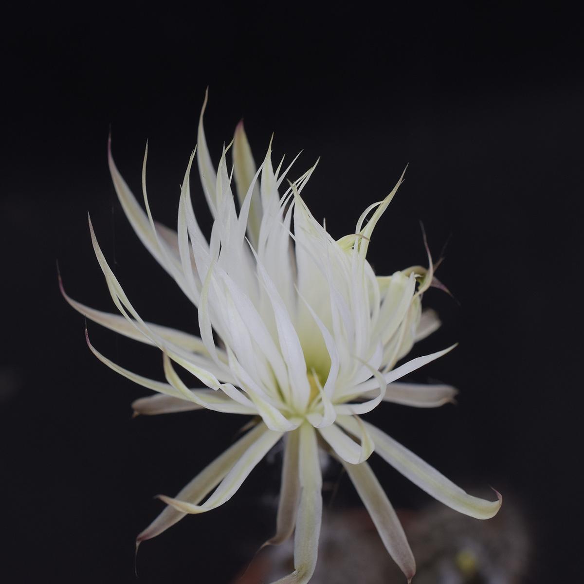 eden plantae cactaceae setiechinopsis mirabilis 1